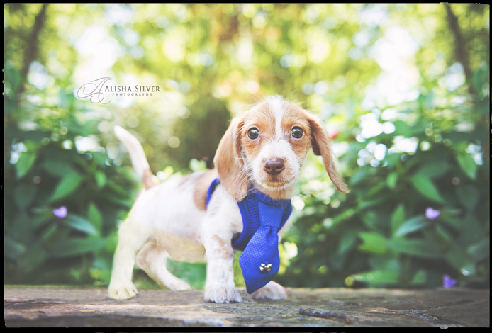 dachshund-puppy-photography